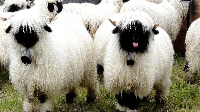 Iordania a interzis importul de ovine şi bovine din România