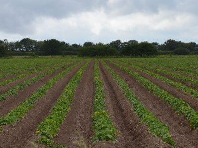 UE, 53 milioane de tone de cartofi în 2015